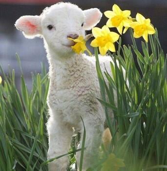 """Képtalálat a következőre: """"bárány"""""""